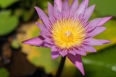 Flor de lótus bonita na florescência para trás fundo Imagem de Stock Royalty Free