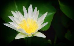 Flor de lótus bonita na lagoa Foto de Stock