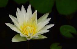 Flor de lótus bonita na lagoa Imagens de Stock