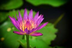 Flor de lótus bonita na lagoa Foto de Stock Royalty Free
