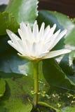 Flor de lótus brancos imagens de stock