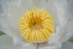 Flor de lótus brancos, close up para ver o pólen amarelo Fotografia de Stock