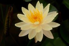 A flor de lótus brancos e flor de lótus cor-de-rosa Foto de Stock