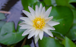 Flor de lótus brancos e folha dos lótus Fotografia de Stock Royalty Free