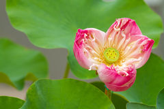Flor de lótus cor-de-rosa Fotografia de Stock Royalty Free