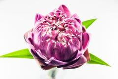 Flor de lótus cor-de-rosa imagens de stock royalty free