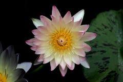 Flor de lótus cor-de-rosa Foto de Stock