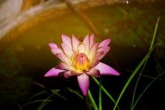 Flor de lótus cor-de-rosa Fotografia de Stock