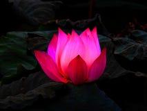 Flor de lótus cor-de-rosa imagens de stock