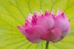 Flor de lótus cor-de-rosa de florescência. Imagem de Stock