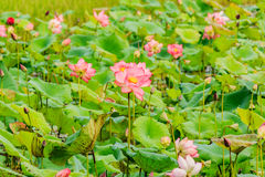 Flor de lótus cor-de-rosa e de flor de Lotus plantas Foto de Stock