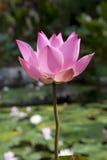Flor de lótus cor-de-rosa em uma lagoa Fotos de Stock