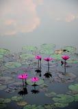 Flor de lótus cor-de-rosa na água foto de stock