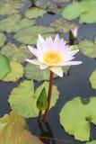 Flor de lótus cor-de-rosa na flor completa. Imagens de Stock