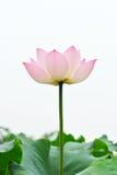 Flor de lótus cor-de-rosa no fundo branco Foto de Stock Royalty Free