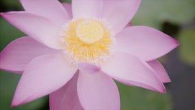 Flor de lótus cor-de-rosa bonita da cor no jardim no parque da água no dia de verão ensolarado O botão está aberto Giro da câmera filme
