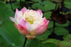 Flor de lótus cor-de-rosa que floresce na associação Fotografia de Stock Royalty Free