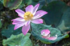 Flor de lótus da cor que irradia Fotografia de Stock