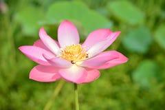 flor de lótus da flor, flor de lótus bonita na manhã, lótus cor-de-rosa que flutuam, flor do nucifera do Nelumbo Imagens de Stock Royalty Free