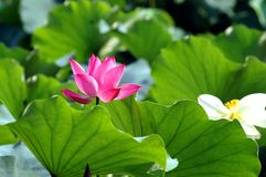 Flor de lótus de florescência Fotografia de Stock