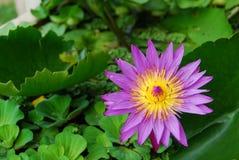 Flor de lótus de florescência Fotografia de Stock Royalty Free