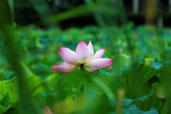 Flor de lótus de florescência Imagem de Stock Royalty Free