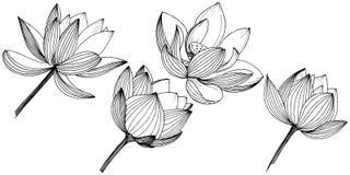 Flor de lótus do vetor Flor botânica floral Elemento isolado da ilustração Ilustração do Vetor