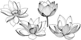 Flor de lótus do vetor Flor botânica floral Elemento isolado da ilustração Ilustração Royalty Free