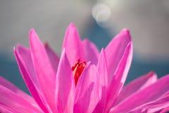 flor de lótus e luz do sol vermelhas da manhã fotografia de stock