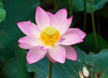 Flor de lótus de florescência Foto de Stock