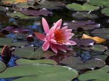 Flor de lótus de florescência cor-de-rosa bonita em um lago fotos de stock
