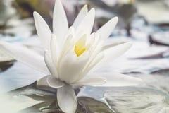 Flor de lótus fresca branca entre a lagoa Flor exótica em uma luz - fundo verde Água lilly foliage imagens de stock royalty free