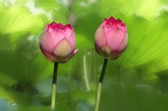 Flor de lótus gêmea Fotos de Stock Royalty Free