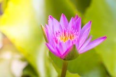 A flor de lótus O fundo é a folha dos lótus Imagens de Stock Royalty Free