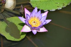 Flor de lótus roxa fotografia de stock royalty free
