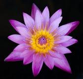 Flor de lótus roxa Fotografia de Stock