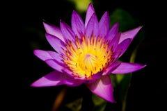 Flor de lótus roxa Imagens de Stock