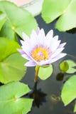 Flor de lótus roxa de florescência Fotografia de Stock
