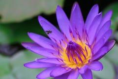 Flor de lótus roxa de florescência Imagem de Stock Royalty Free