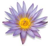 Flor de lótus roxa isolada no branco Imagem de Stock