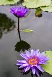 Flor de lótus roxa na flor completa. Foto de Stock