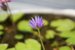 Flor de lótus roxa na lagoa Fotos de Stock