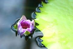 flor de lótus sob a água Fotos de Stock
