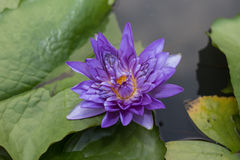 Flor de lótus violeta imagens de stock