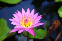 Flor de lótus violeta Imagem de Stock Royalty Free