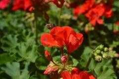 Flor de la abeja Imagen de archivo libre de regalías