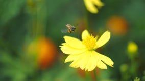 Flor de la abeja Fotos de archivo libres de regalías