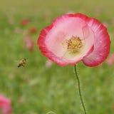 Flor de la abeja Imagenes de archivo