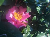Flor 2 de la abeja Imágenes de archivo libres de regalías