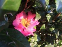 Flor 4 de la abeja Imagen de archivo libre de regalías